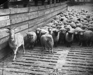 Judas Goat leading Sheep into a Slaughter House