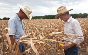 Farmers Inspect their withered crop