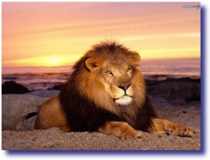The Lion - King of the Jungle